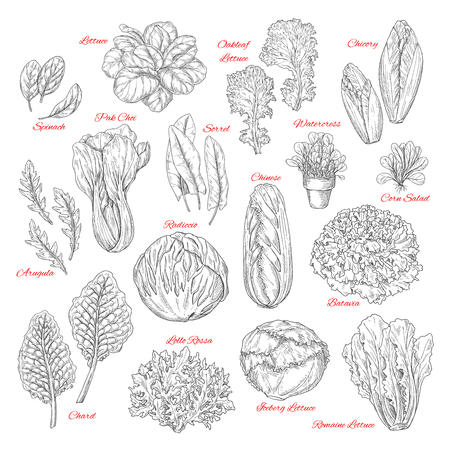 Salads and leafy vegetables vector sketches. Lettuce veggies harvest of spinach, sorrel and watercress, chinese or iceberg cabbage and lollo rossa or radiccio and farm fresh corn or oakleaf salad