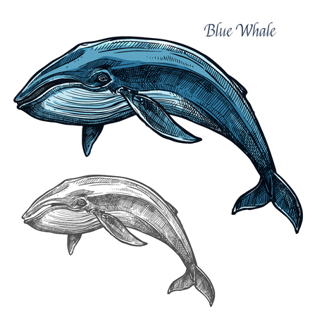 baleen whale: Blue whale isolated sketch for sea animal design