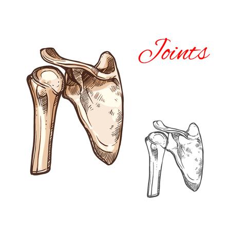 공동 및 인간의 어깨 뼈 격리 된 스케치입니다. 견갑골, 상완골 머리 및 쇄골 의학, 의료, 정형 외과 및 외상학 테마 디자인에 대한 해골 부분의 해부 그 일러스트