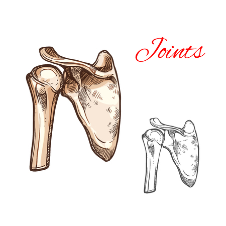 Joint and bone of human shoulder isolated sketch
