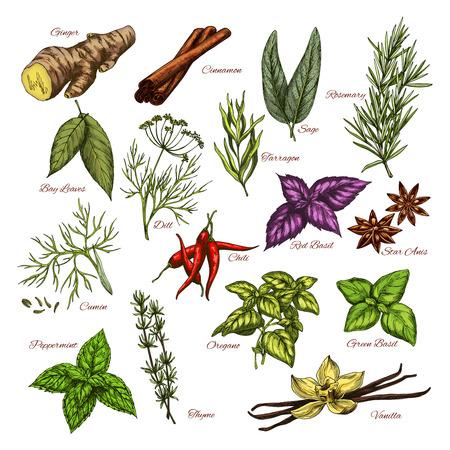 Vector spezie e erbe icone di schizzi di condimenti Vettoriali