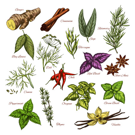 tarragon: Vector spices and herbs sketch icons of seasonings Illustration