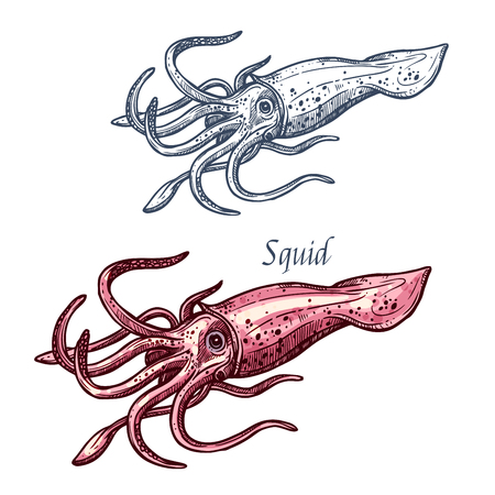 Squid seafood isolated sketch. Sea animal, european squid with pink tentacles and mantle. Seafood, fish market label, food packaging or underwater sea animal themes design  イラスト・ベクター素材