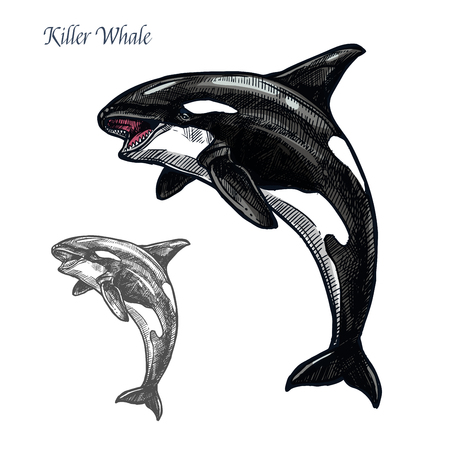Killer whale sea animal isolated sketch. Orca or toothed whale symbol, marine predator leaping out of water with curved tail and open mouth. Dolphinarium and zoo themes, t-shirt print design 일러스트