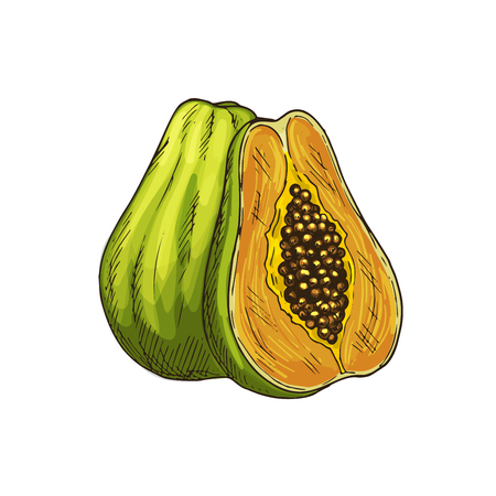 Papaya exotic fruit sketch. Whole and half of tropical pawpaw fruit isolated symbol for exotic fruit dessert or cocktail menu, juice label, healthy vegetarian food, organic farming themes design Illustration
