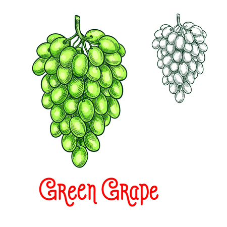 Green grape vector sketch isolated fruit berry