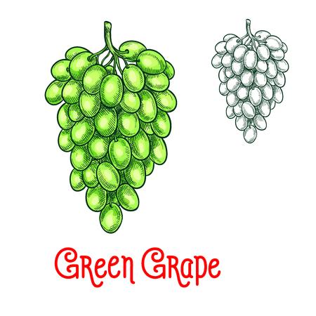 Groene druif vector schets geïsoleerd fruit berry