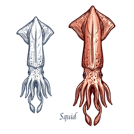 Squid seafood vector isolated sketch icon Illustration