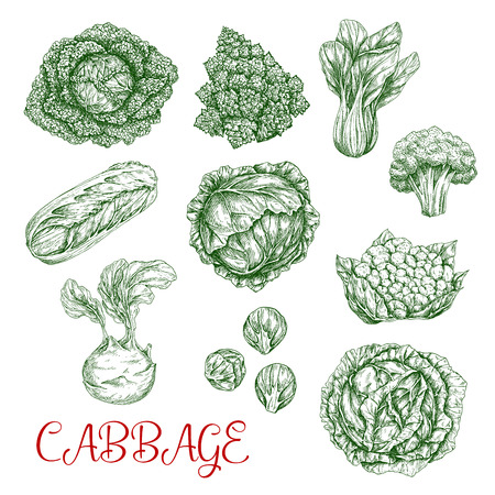 Cabbage vector sketch icons of vegetables Ilustração