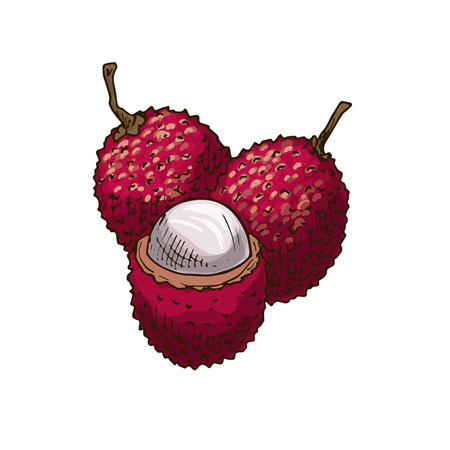 Lychee fruit vector sketch isolated icon