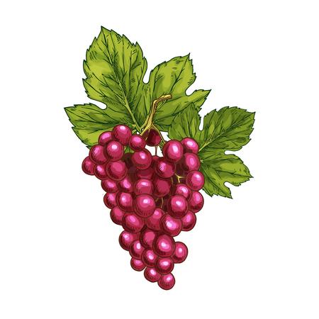 붉은 포도 벡터 스케치 절연 과일 베리