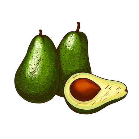 dietary: Avocado tropical exotic fruit vector sketch icon
