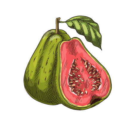 Guava tropical fruit vector sketch isolated icon