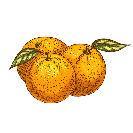 tangerine: Orange fruits sketch. Vector isolated icon of fresh whole and tropical citrus or tangerine fruit for jam and juice drink product label or grocery store and farm market design