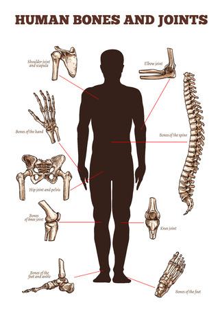 Los huesos humanos y las articulaciones vectoriales anatomía médica cartel con partes esqueléticas del cuerpo iconos de la columna vertebral, los hombros y la escápula o el codo, el brazo y la muñeca de la mano con los dedos, la cadera y la rodilla de la pierna y el pie tobillo