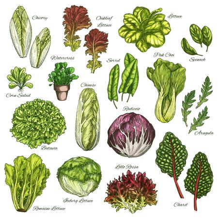 Wektor szkicu ikony zestaw sałatek warzyw liściastych Ilustracje wektorowe