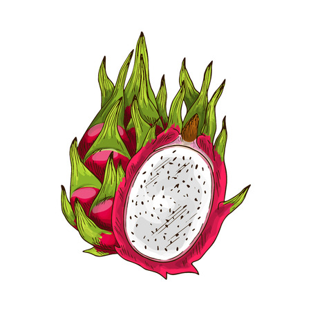 Dragon fruit isolated sketch. Exotic tropical pitaya fruit with pink peel, white flesh and green leaf. Ripe pitahaya for food and drink label, tropical dessert or exotic juice packaging design
