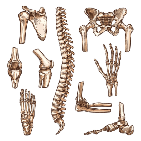 Bone and joint of human skeleton sketch set. Hand, hip, knee, foot, spine, arm, finger, elbow, pelvis, rib, shoulder, ankle, thorax, chest, wrist symbol for anatomy medicine, orthopedic surgery design Vettoriali