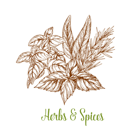 Spices and herbs seasonings vector sketch