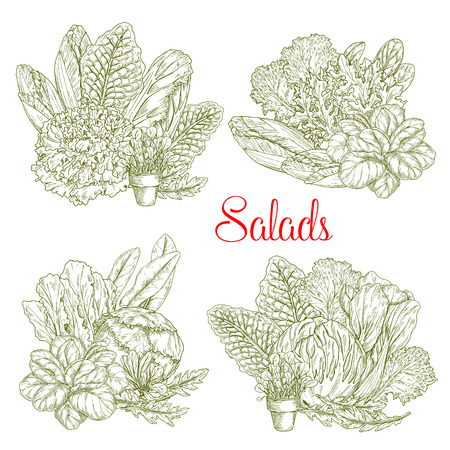 Lettuce salads sketch of chicory, watercress or sorrel and gotukola collard.