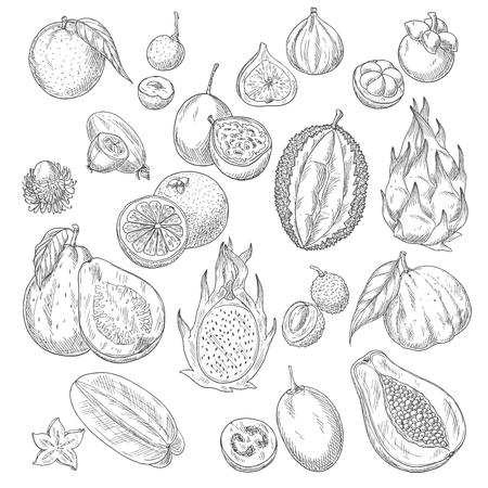 Exotische Früchte Skizze von Papaya und Mango, Feigen, Avocado, Passionsfrucht maracuya, Karambolen, Durian, Guave, Feijoa, Litschi, Mangostan und Rambutan. Standard-Bild - 82097741