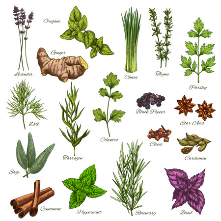 Vector isolated icons of natural spices and herbs Banco de Imagens - 83082243