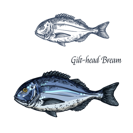 gilt head: Gilt-head bream fish vector isolated sketch icon