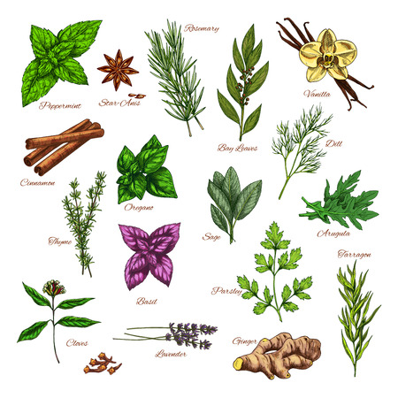 Culinary herb and spice sketch for food design Zdjęcie Seryjne - 83982334