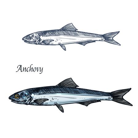 Anchovy fish isolated sketch for seafood design