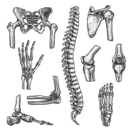 Bone and joints sketches set. Human skeleton hand, knee and shoulder, hip, foot, spine, leg and arm, finger, elbow, pelvis, thorax, ankle, wrist icon for orthopedics and rheumatology medicine design