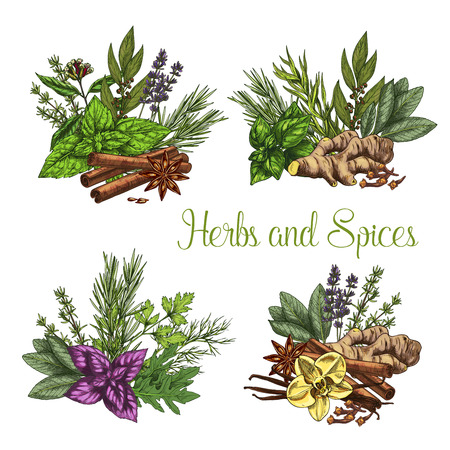 Herbs and spices bunches of thyme, basil or oregano and ginger or spicy chili pepper. Farm grown peppermint or arugula and natural fresh organic seasonings of rosemary. Vector sketch icons set