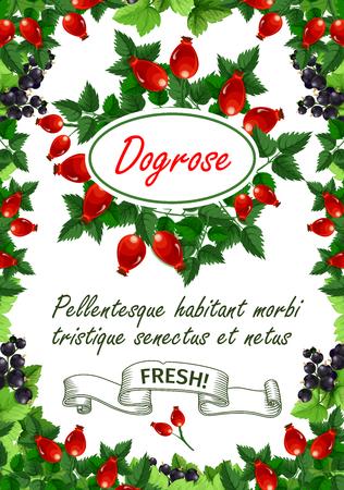 과일 가게 또는 농장 시장을위한 Dogrose 열매 또는 수액 과일 포스터.