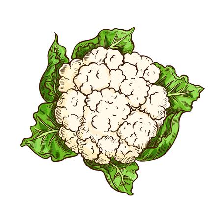 Coliflor, col, vegetal, bosquejo aislado Ilustración de vector