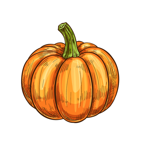 Pumpkin, gourd or squash vegetable isolated sketch