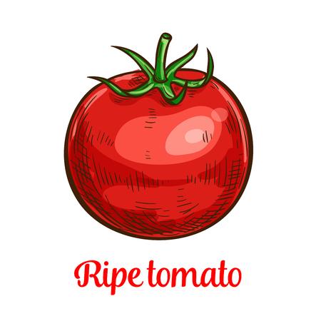 Tomato vegetable sketch of organic natural veggies Ilustração