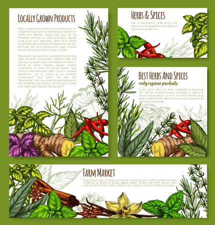 Herbs and spices of ginger, cinnamon and sage or bay leaf seasonings, rosemary or tarragon and garden grown cumin or chili pepper and basil or peppermint. Vector sketch posters for farm market