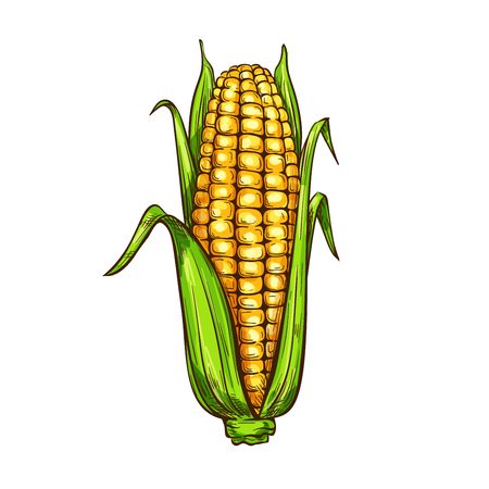 Maize corn vector sketch vegetable icon