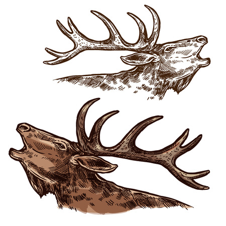 Elk moose head muzzle vector isolated sketch. Çizim