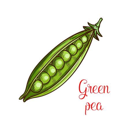 신선한 콩과 식물의 녹색 완두콩 야채 스케치