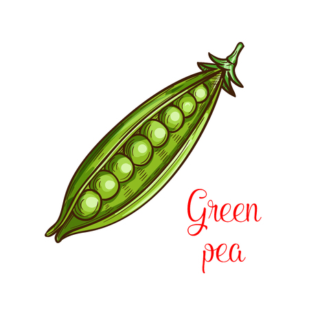 Green pea vegetable sketch of fresh legume