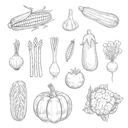 Vector vegetables or veggies harvest sketch icons