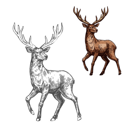 Deer, reindeer or elk sketch of wild mammal animal