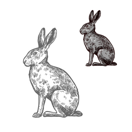Hare or rabbit wild animal isolated sketch. Bunny, herbivorous mammal with long ears and grey fur for hunting sport and wildlife fauna symbol or t-shirt print design.