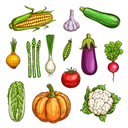Vegetable sketches set of fresh farm veggies. Tomato, garlic and onion, radish, cabbage and eggplant, zucchini, corn and pumpkin and green pea for agriculture themes design.