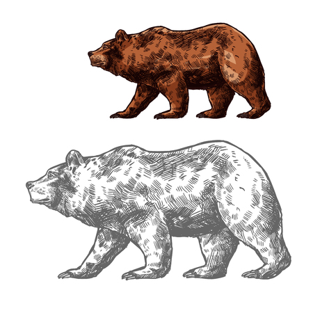 Bear walking sketch of brown grizzly. Wild predatory animal of walking or standing bear for forest wildlife and hunting sport club badge design