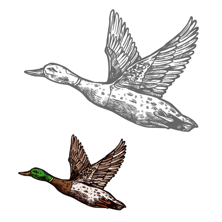 Duck bird sketch of wild or farm waterfowl animal Illustration