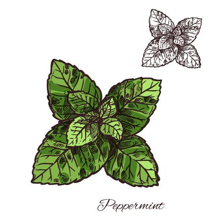 ペパーミントまたはスペアミントベクトルイラストのミントリーフスケッチ
