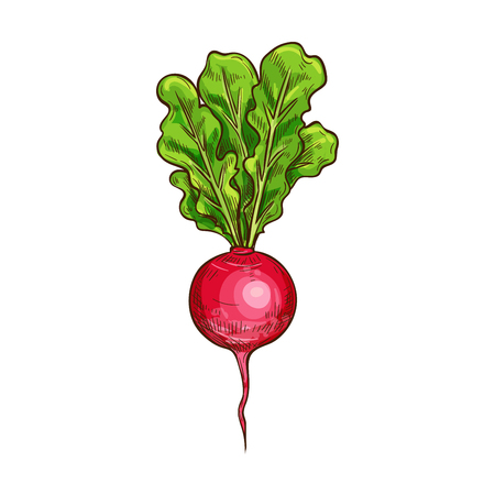 Radish sketch icon. Vector isolated symbol of fresh vegetable root of farm grown vegetarian radish or daikon for veggies salad or grocery store and market design