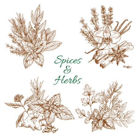 향신료와 허브 유기농 파슬리, 박하와 아니스 스타 씨앗 또는 실란트로의 조미료, 바닐라, 계피, 박하 및 생강의 향신료. 벡터 스케치 디자인입니다. 일러스트