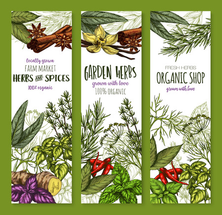 Herbs and spices seasonings banners of basil, oregano or tarragon and ginger, cinnamon or vanilla and garden rosemary, peppermint condiment or cinnamon and bay leaf. Vector sketch seasoning design. Illustration